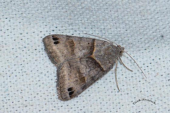 Unknown moth Maybe Smith's Dart or a Looper - Caenurgina crassiuscula