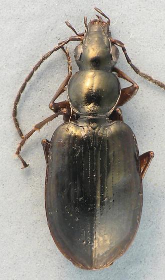 little black carabid - Agonum aeruginosum