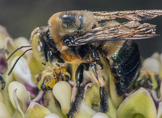 Bee with geen eyes - Xylocopa micans