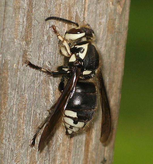 Queen collecting wood fiber  - Dolichovespula maculata - female