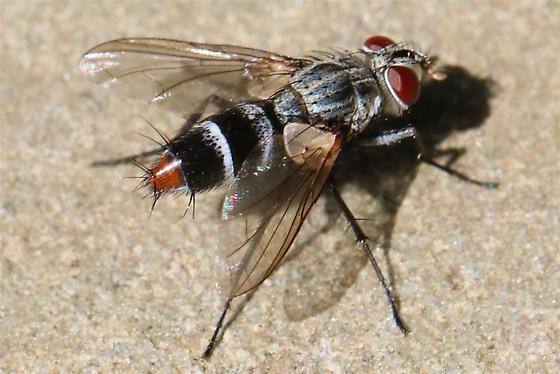 Tachinid fly   - Zelia ruficauda - female