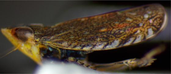 Unidentified Leafhopper- Paraphlepsius? - Scaphytopius