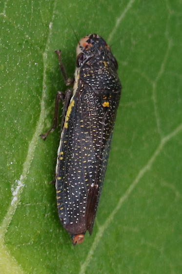 Speckled Sharpshooter - Paraulacizes irrorata