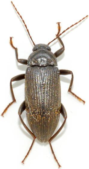 Lobopoda socia - female