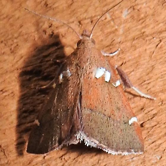 Lepidomys irrenosa - Hodges#5550 - Lepidomys irrenosa