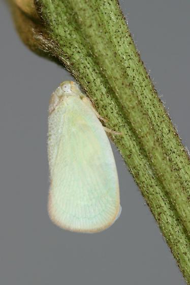 Flatid Planthopper - Ormenaria rufifascia