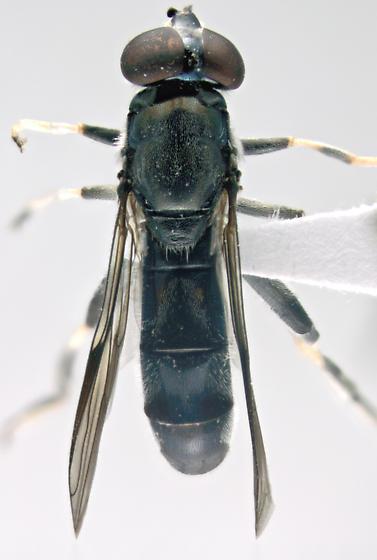 Syrphidae, dorsal - Xylota