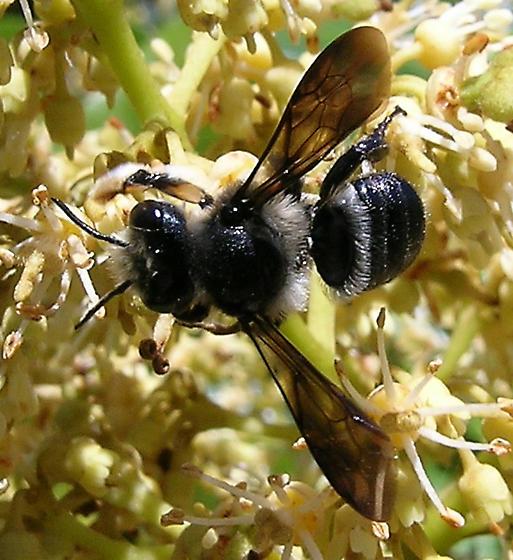 Mega Chill - Megachile xylocopoides - male