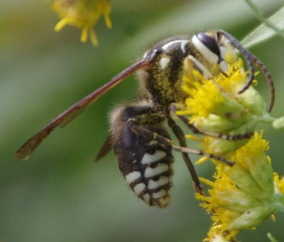 Baldfaced Hornet? - Dolichovespula maculata