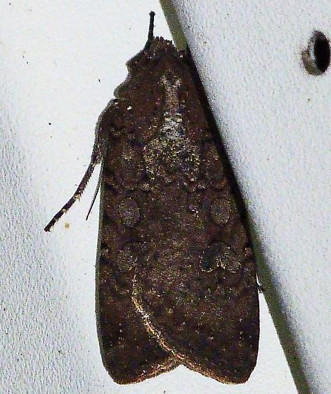 Variegated Cutworm Moth ? - Peridroma saucia