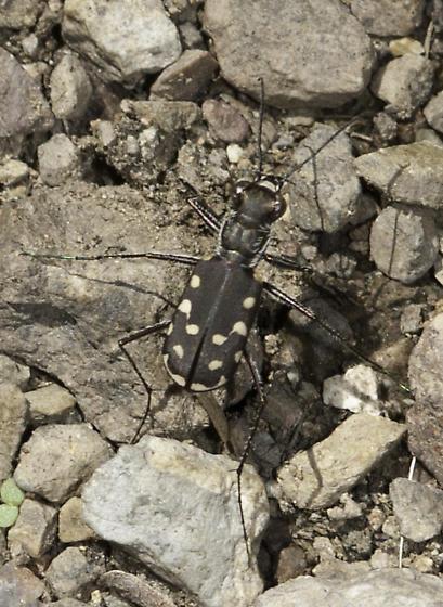 Tiger beetle in the trail - Cicindelidia sedecimpunctata