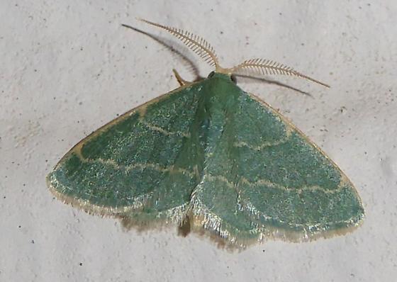 unknown moth - Chlorochlamys phyllinaria - male