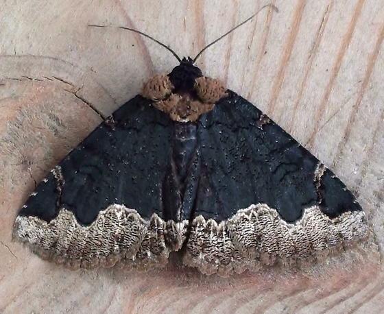 Erebidae: Zale horrida - Zale horrida
