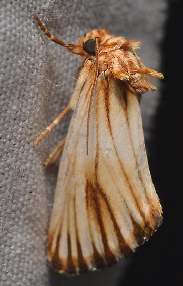 Moth ID - Eulithosia discistriga