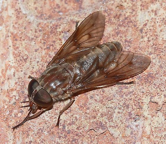 Horse Fly - Tabanus molestus