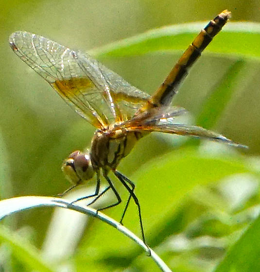 Band-winged Meadowhawk - Sympetrum semicinctum