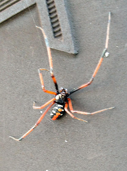 possible Anyphaenidae - Latrodectus