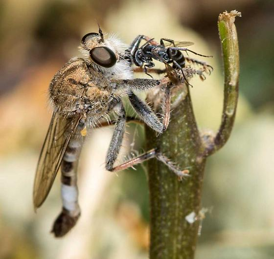 Robberfly with Wasp - Efferia albibarbis - male