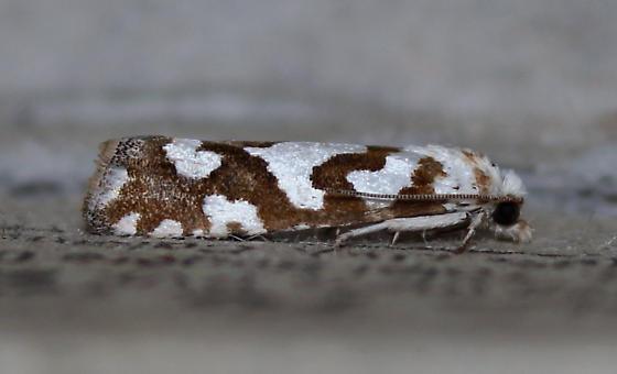Pelochrista curlewensis - Pelochrista