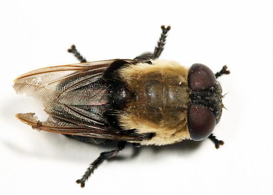 Bot Fly - Cuterebra emasculator