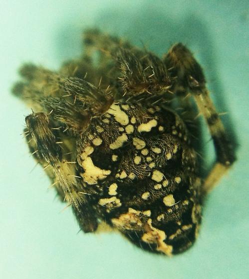 Neoscana? - Araneus diadematus - female