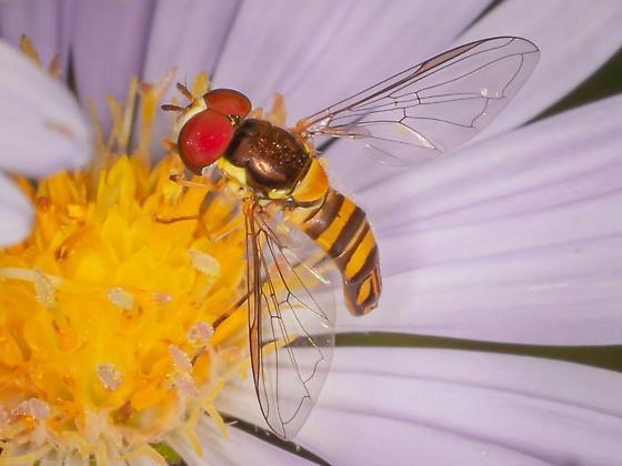 Allograpta obliqua - Common Oblique Syrphid? - Allograpta obliqua - male