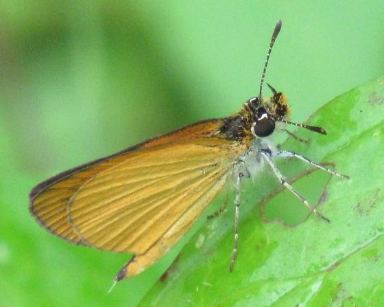 Least Skipper - Ancyloxypha numitor - male