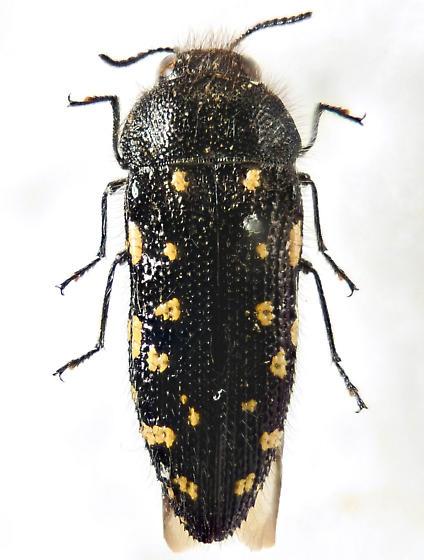 Acmaeodera? - Acmaeodera ornata