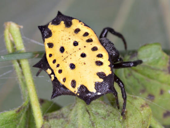Yellow Spiny Orb Weaver Spider - Gasteracantha cancriformis - female