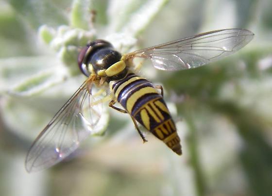 Toxomerus sp. (Syrphidae) - Allograpta obliqua - male
