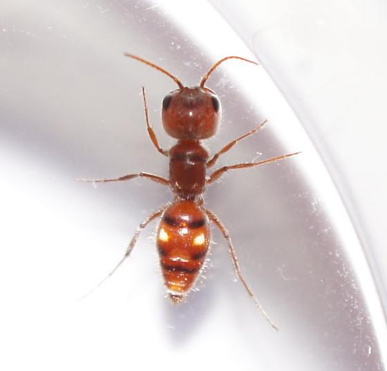 Ant? Wasp? - Myrmosula