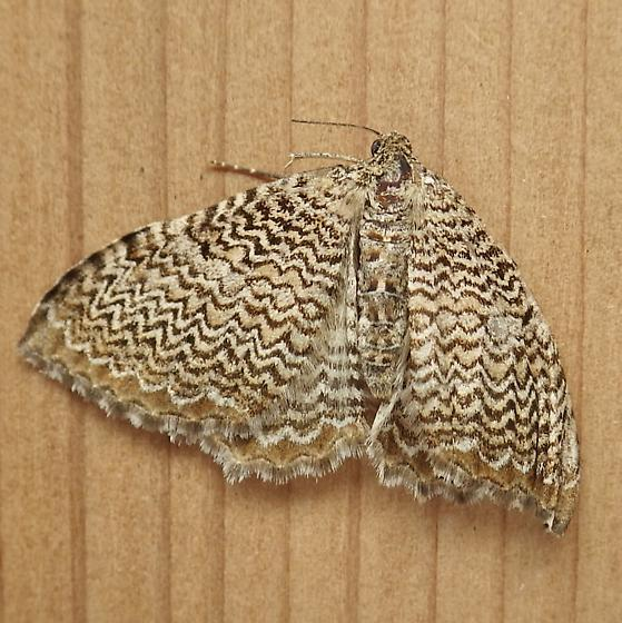 Geometridae: Rheumaptera prunivorata - Rheumaptera undulata