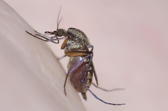 Biting Mosquito - Psorophora cyanescens - female