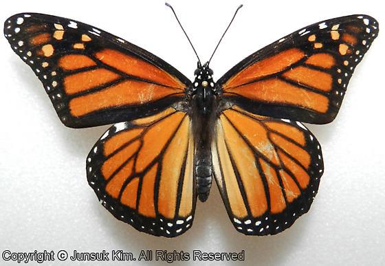 Lepidoptera - Danaus plexippus