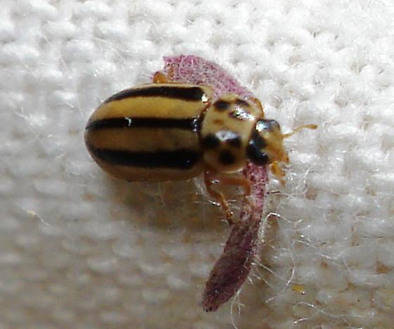 Beetle - Macronaemia episcopalis
