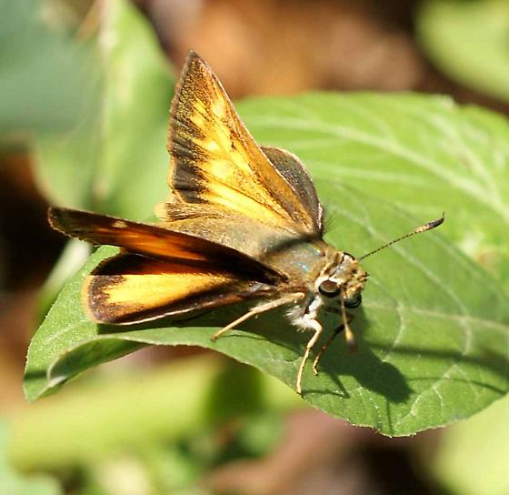 What kind of skipper? - Poanes taxiles