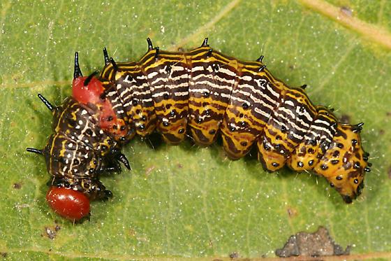 Red-humped Caterpillar - Schizura concinna