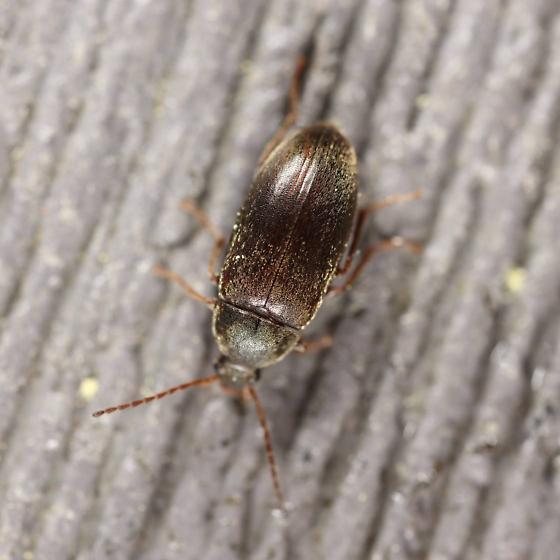 Generic brown handrail beetle 2 - Isomira