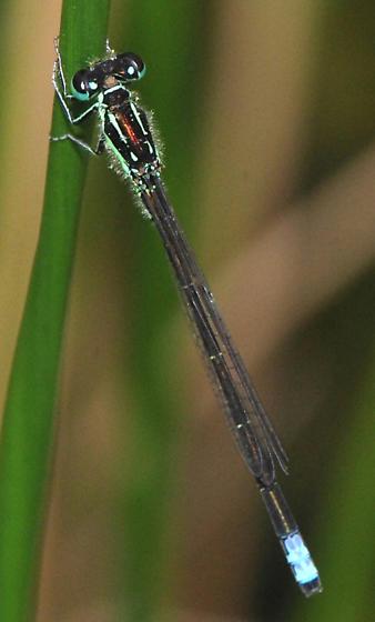 Damselfly - Ischnura verticalis - male