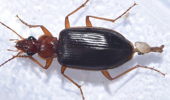 Beetle from Edge of Stream - Platynus brunneomarginatus
