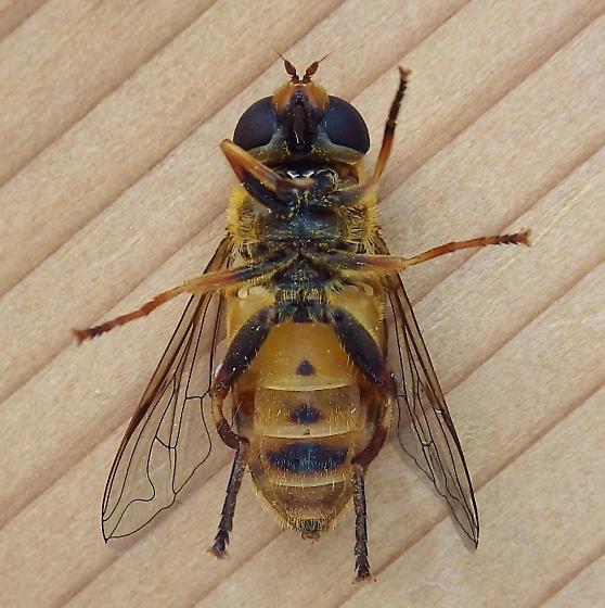 Syrphidae: Helophilus? - Helophilus fasciatus