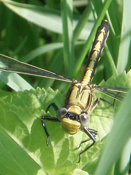 Yellow/black dramatic dragonfly - Arigomphus cornutus
