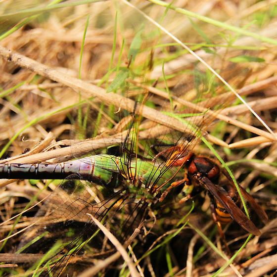 Hornet killing a dragon fly.  Species? - Vespa crabro - female