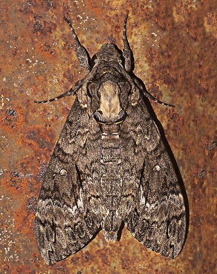 Agrius cingulatata - Agrius cingulata