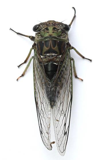 Neotibicen linnei - female