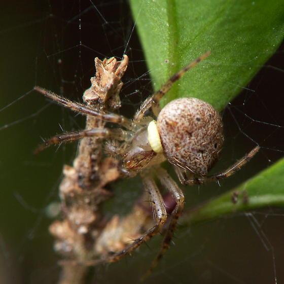 Araneus Spider With Ichneumon? Parasite - Araneus miniatus - male