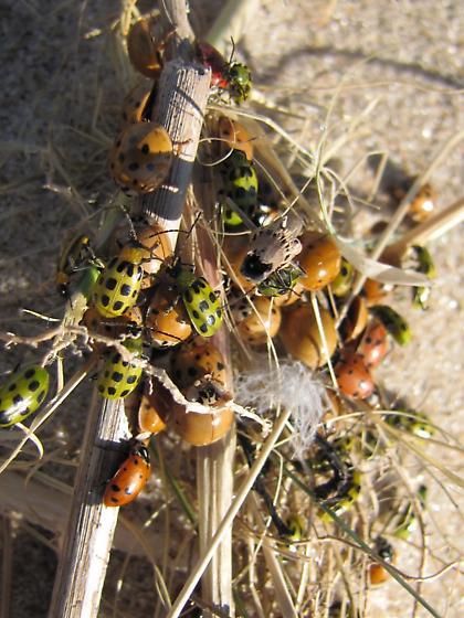 Beetle beach party - Hippodamia convergens