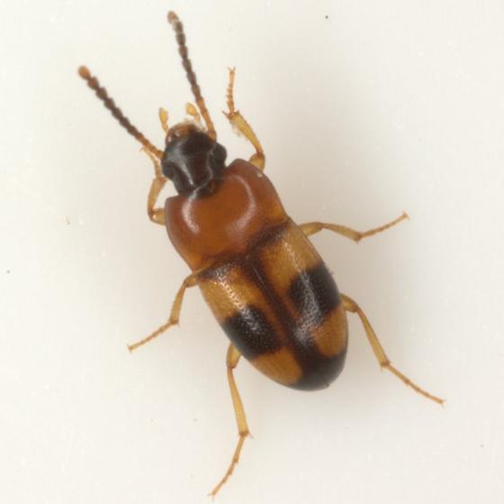 Poecilocrypticus formicophilus Gebien - Poecilocrypticus formicophilus