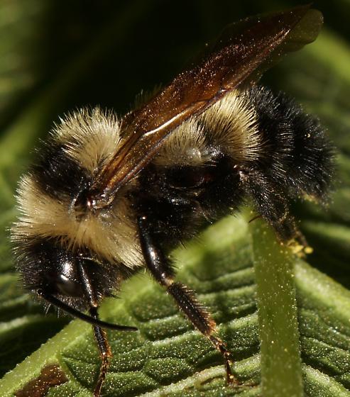 Unknown Bee - Bombus citrinus