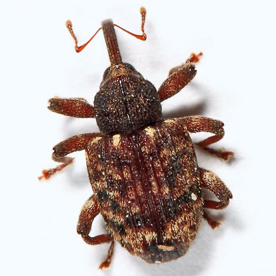 weevil - Conotrachelus posticatus